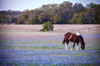 12 - Bluebonnets and  Horse -